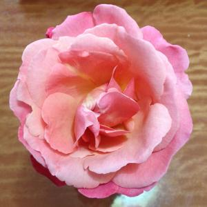 last summer rose